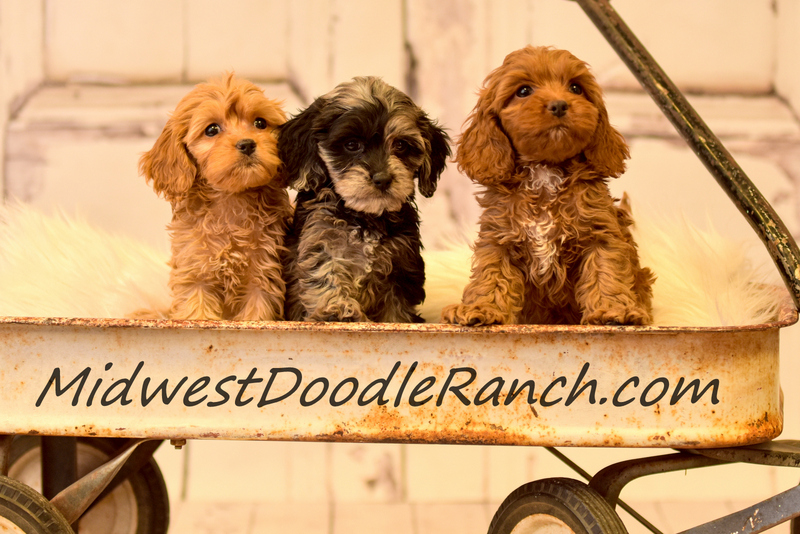 Kansas City Star  Classifieds  Dogs  Cockapoo And Mini Bernedoodle -8882