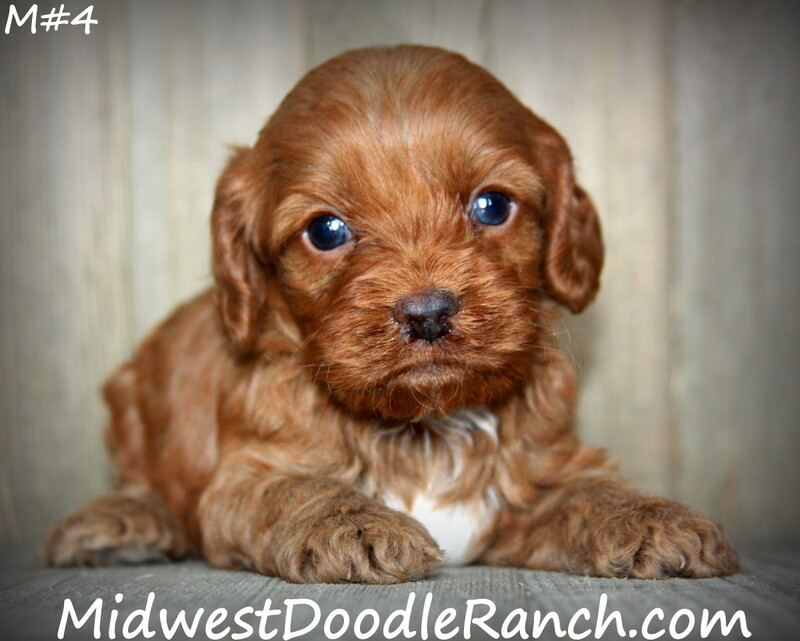 Kansas City Star  Classifieds  Pets  Cockapoo And Mini Bernedoodle -7378