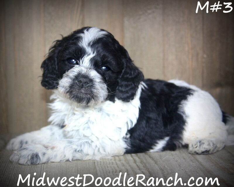Kansas City Star  Classifieds  Pets  Cockapoo And Mini Bernedoodle -7366