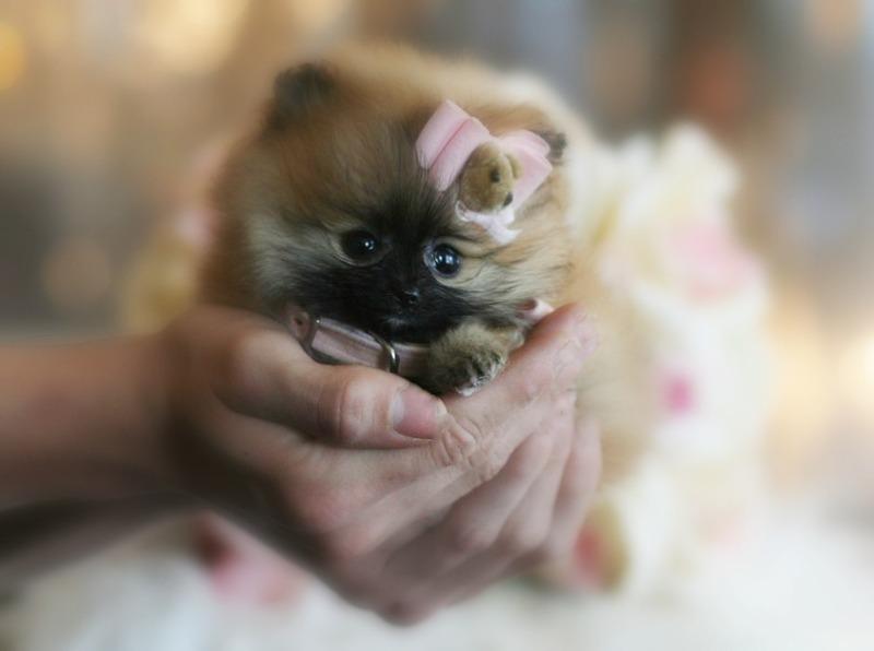 Miami Herald Classifieds Dogs Teacup Pomeranian English