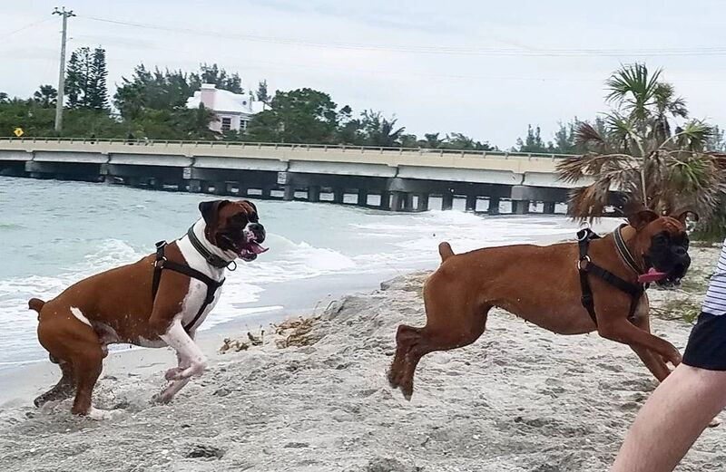 Miami Herald | Classifieds | Misc  Employment | BOXER Euro puppies