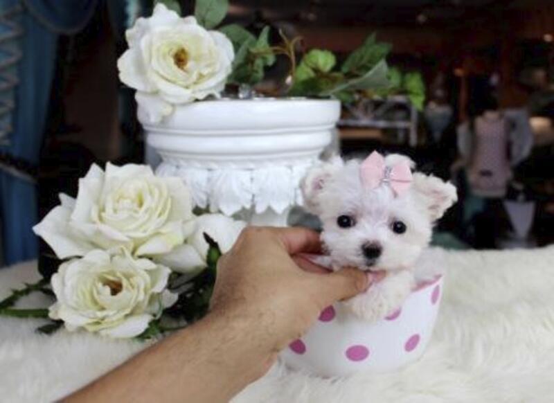 Miami Herald Classifieds Dogs Maltese Teacup Maltese Teacup