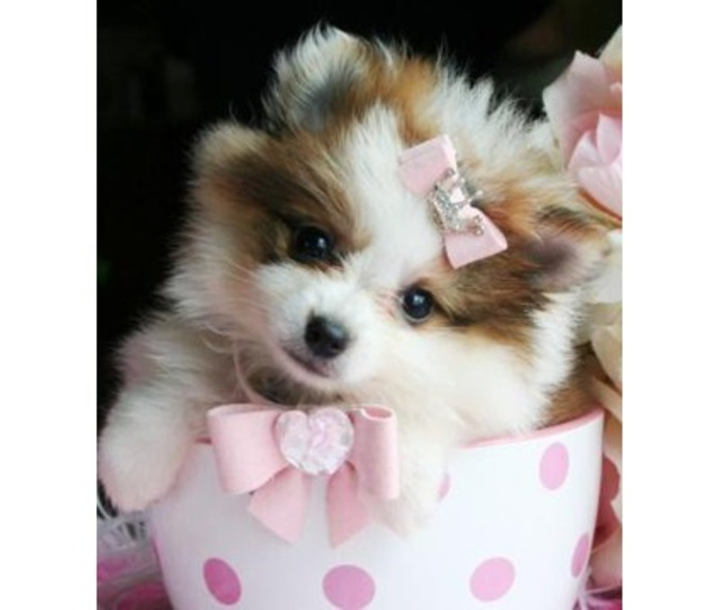 Miami Herald Classifieds Pets Animals Teacup Puppies For