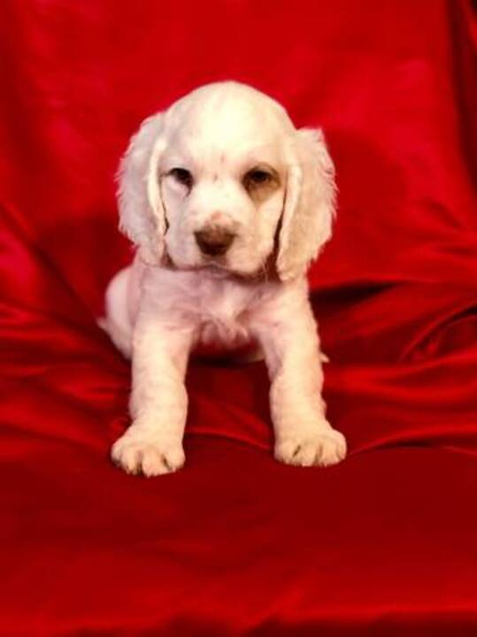 Sacramento Bee Classifieds Pets Animals Clumber Spaniel