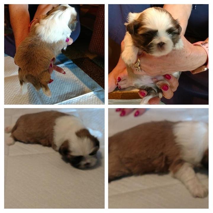 Sacramento Bee Classifieds Pets Animals Shih Tzu Puppies