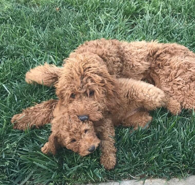 Toy Poodle Puppies Sacramento – Wow Blog