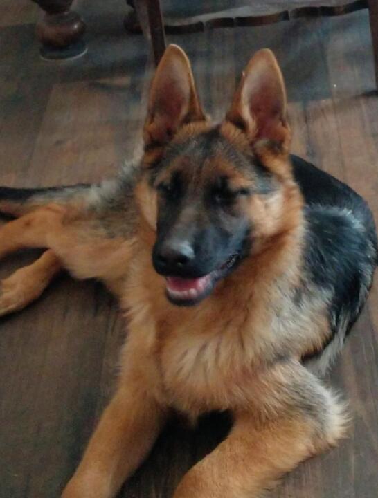 Sacramento Bee Classifieds Pets Animals German Shepherd